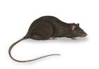 Small Image of Black Rat (Rattus rattus) | Rentokil China