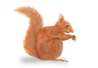 Image of Red Squirrel (Sciurus vulgaris) | Rentokil China