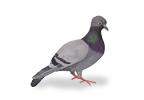 Image of Feral Pigeons (Columba livia) | Rentokil China