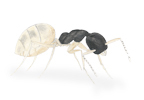 Image of Ghost Ant (Tapinoma melanocephalum) | Rentokil China
