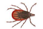 Image of Feral tick (Ixodes ricinus) | Rentokil China