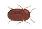Image of Cigarette beetle (Lasioderma serricorne) | Rentokil China