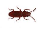 Image of Flat Grain beetle (Cryptolestes ferrugineus)   Rentokil China