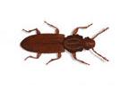 Image of Saw Toothed Grain beetle (Oryzaephilus surinamensis)   Rentokil China
