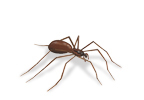 Image of Brown Recluse Spiders (Loxosceles reclusa)   Rentokil China