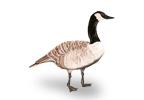 Small Image of Geese (Branta canadensis)   Rentokil China