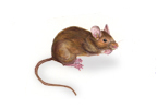 Image of House Mouse (Mus domesticus) | Rentokil China