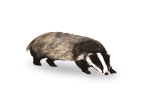 Image of Badger (Meles meles) | Rentokil China